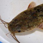 Auf Stör und Afrowels in Teichen angeln