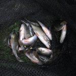 So kannst du Barsche im Winter angeln