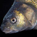 So kannst du Brassen im Winter angeln