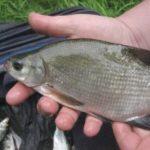 Gute Lockstoffe in Futtermischungen zum Anfüttern von Friedfischen