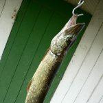 So kann man einen großen Hecht mit Anfüttern angeln