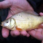 Wie kann man erfolgreich auf Karausche angeln