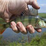 Tipps zum Barsch angeln im Sommer und Winter