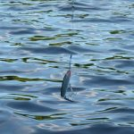 Bevorzugte Köder von Fischarten, die beim Angeln auch fangen