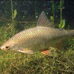 So kannst du Rotaugen im Fluss angeln