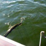 Erfolgreiches Schleppangeln auf Raubfische an der Rursee