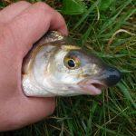 So kannst du erfolgreich Nasen angeln