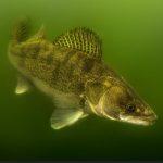 Wie kann man Zander im Sommer angeln?